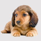 translation missing: ja.views.alt.customer.pc.images.items.thumb-category-dachshund